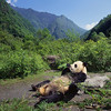 Wolong National Nature Reserve, Sichuan Province, China --- Giant Panda Relaxing --- Image by © DLILLC/Corbis