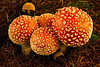 Look but don't touch!  These are Amanita muscaria mushrooms near our home in Mukilteo.