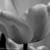 The softly lit bw catches the nuances of the delicate petals of a tulip.  Love spring!