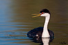 Western Grebe,  Gilbert Water Ranch, Arizona