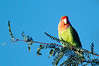 Peach Faced Lovebird,  Gilbert Water Ranch, Arizona