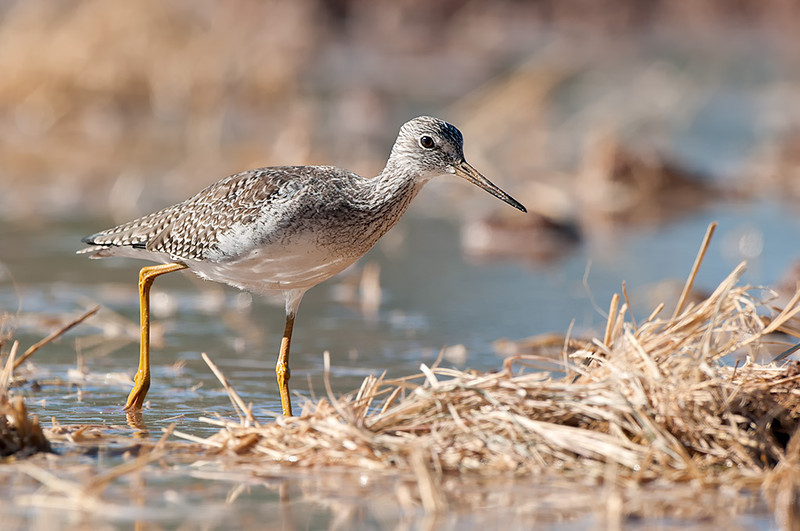 Yellowlegs,  Gilbert Water Ranch, Gilbert,Arizona,