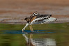 Killdeer,  Gilbert Water Ranch, Gilbert,Arizona