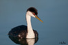 Western Grebe,  Gilbert Water Ranch, Gilbert, Arizona
