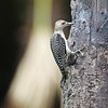 RED-BELLIED WOODPECKER - IMMATURE