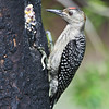 Male Red-bellied woodpecker-imature
