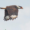 crested caracara<br /> Snake Rd, Hendry County FL
