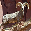 Images from Island in the Sky region of the Canyonlands National Park System.  Desert bighorn ram showing scarring from many battles.