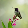 male Costa's Hummingbird<br /> Fairchild Tropical Botanic Gardens<br /> Coral Gables, FL