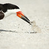 Black Skimmer & Chick<br /> Indian Shores, Florida