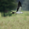 Swallow tailed kite<br /> Sumter County, FL