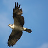 osprey <br /> Everglades National Park