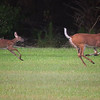 whilte-tailed deer doe & fawn<br /> Hendry County, FL