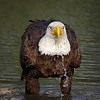 bald eagle takes a drink<br /> Ft. Myers, FL