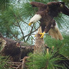 defending the nest<br /> bald eagles (E6 & the visitor)<br /> Ft. Myers, FL