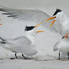 """everyone's a critic""<br /> Royal Terns<br /> Indian Shores, FL"