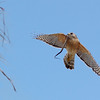 Red Shouldered Hawk with snake<br /> Shark Valley, ENP