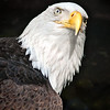 Bald Eagle, Haliaeetus leucocephalus.  This is a captive bird having had it's left eye damage by human actions.  It lives at Northwest Trek Wild Animal Park in Eatonville, Washington.