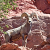 Images from Island in the Sky region of the Canyonlands National Park System.  Desert bighorn sheep ram encountered on my way to False Kiva