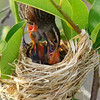 Red-Winged Blackbird Mom and chicks<br /> Wakodahatchee Wetlands, Delray Beach FL