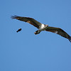 Red-Winged Blackbird vs. Osprey (defending nest)<br /> Wakodahatchee Wetlands, Delray Beach Florida