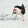 Black Skimmer and chicks<br /> Indian Shores, Florida