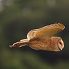 the Hunter - Barn Owl<br /> Everglades National Park