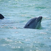 pod of bottle-nosed dolphins<br /> Marco Island, FL