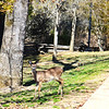 Young Deer Watching Me in Jamestown VA