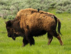 Grackle Riding a Bison in Lamar Valley