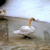 Mute swans, Cygnus olor, in winter. Ross Park Zoo, Binghamton, NY 2000