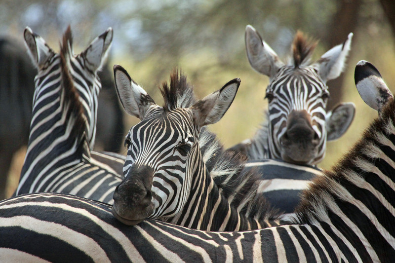 Tarangire National Park - Zebras resting together, keeping an eye out in every direction