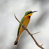 Serengeti - Little Bee-Eater