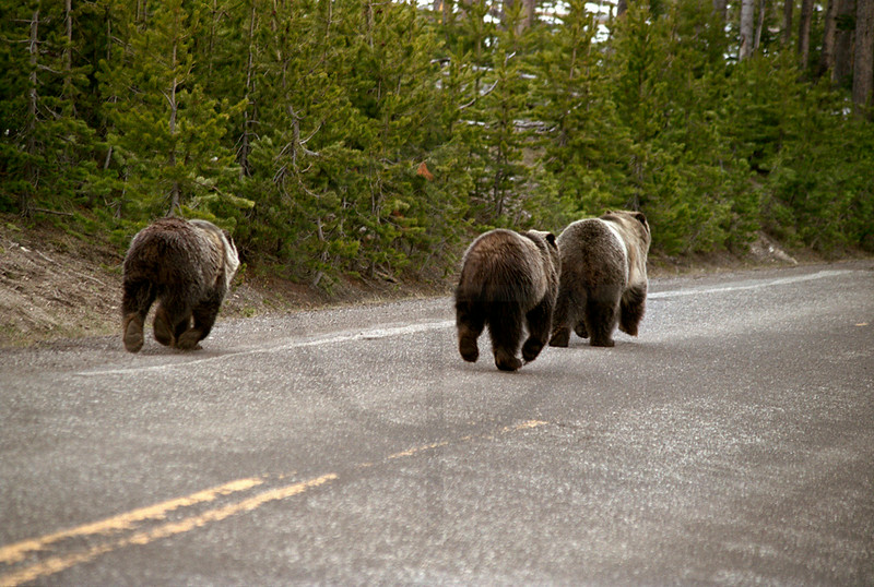 Grizzly mother and her two-year-old cubs trotting on a road after having fed on a bison carcass, Yellowstone National Park, United States