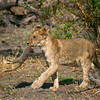 Lion cub carrying and playing with a dead banded mongoose, Moremi Game Reserve, Botswana
