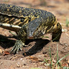 Water or Nile monitor, Liwonde National Park, Malawi