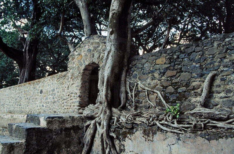 Tree grown into a wall, Fasiladas' Bath, Gonder, Northern Ethiopia