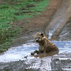 Spotted hyena wallowing in a puddle, Ngorogoro Crater, Tanzania