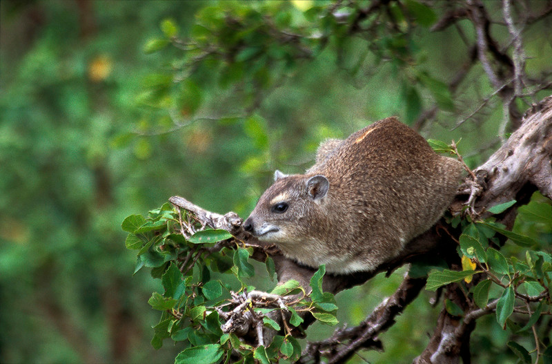 Eastern tree hyrax, Serengeti National Park, Tanzania