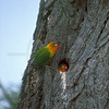 Pair of Fischer's lovebirds at their nest, Ndutu Area, Serengeti National Park, Tanzania