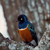 Superb starling in a tree, Serengeti National Park, Tanzania