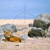 Black-backed jackal at rest, Cape Cross, Namibia