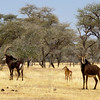 Sable antelope family, Omaruru Game Lodge, Namibia
