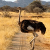 Ostrich crossing a road, Omaruru Game Lodge, Namibia