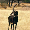Male sable antelope, Omaruru Game Lodge, Namibia