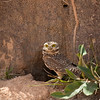 Burrowing owl in front of its burrow in the cerrado, Mato Grosso, Brazil