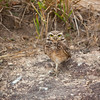 Burrowing owl standing on one leg in the cerrado, Mato Grosso, Brazil