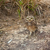 Burrowing owl on the ground in the cerrado, Mato Grosso, Brazil