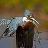 Ringed kingfisher (male) drying its wings on a pole along the Transpantaneira, Pantanal, Brazil