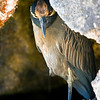Yellow-crowned night heron taking cover to hunt or against the sun, Genovesa Island, Galápagos Islands, Ecuador